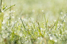 Fresh Green Grass With Dew Drops In Sunshine, Shallow Depth Of Field