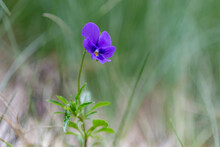 Viola Declinata Is An Alpine Perennial Plant Of The Violet Family, Endemic To The Eastern Carpathians. Wild Flowers - Johnny Jump Up, Heartsease - Viola Declinata