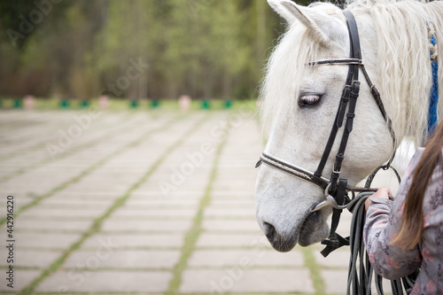 Fotografie, Obraz Close-up of the head of a white horse with a bridle and reins in the hands of a girl