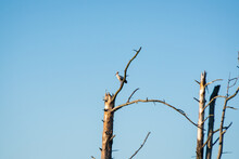 Lonely Stork Standing On A Withered Tree Branch Against A Blue Sky Background