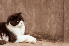 A Lop-eared Cat With A Serious Look And Crossed Paws On A Background Of Gray Roofing Material. Selective Focus.