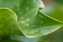 葉っぱの上からこちらを見つめるカマキリ