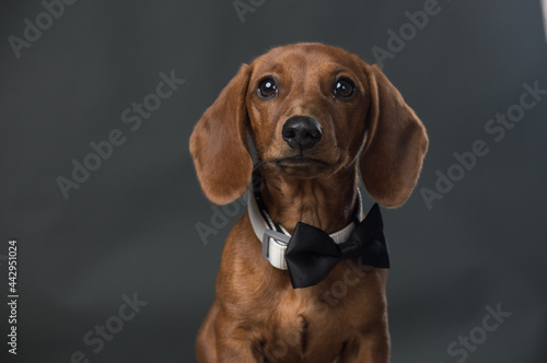 Canvas Brown Dachshund with black bow tie