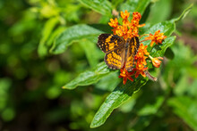 Silvery Checkerspot Butterfly (Chlosyne Nycteis) With Wings Open On An Orange Flower In Selective Focus