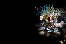 Amazing Unusual Wild Blenny Fish With Transparent Crown On Head At Depth Among Sea Water In Dark
