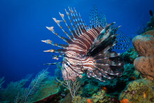 Lion Fish Swimming Near Corals In Sea