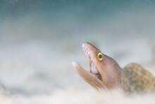 White Moray Eel Hunting On Sea Bottom