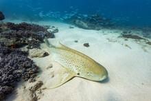 Leopard Cat Shark On Sea Bottom