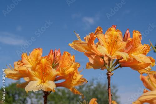 Photo Mollis Azalea (Rhododendron x mollis) in park