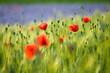 Łąka Makowych  Kwiaty