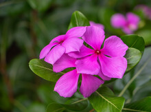 Close Up Pink Purple West Indian Periwinkle Flower Or Catharanthus Roseus In Garden,colorful Of Fully Blossoming Flower.