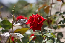 Colorful, Beautiful, Delicate Rose In The Garden