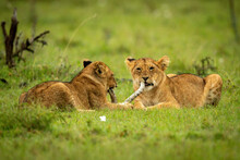 Two Lion Cubs Lie Chewing Dead Branch