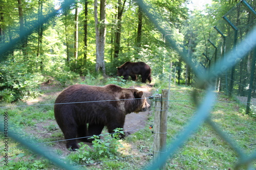 Vászonkép brown bear in close up