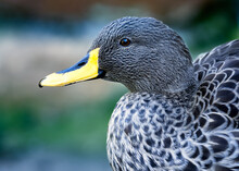 Low Angle, Close Up Portrait Of A Yellow-billed Duck.