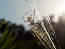 Tiger Spider, Argiope Lobata.