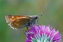 Closeup Of A Slighly Worn Out  Large Skipper Butterfly , Ochlodes Sylvanus On The Purple Flower Of Carduus Crispus