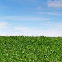 Dense Green Grass Against The Blue Sky