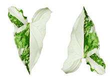 Syngonium Podophyllum Variegeted On White Background.