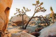 Lush Joshua Trees In Desert National Park