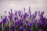 Fototapeta Kwiaty - Kwiaty lawendy. Lawendowy prowansalski klimat lata.