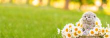 A Small Fluffy Gray Kitten Of The Scottish Breed Sitting In A Basket Inside A Bouquet Of Daisies On Green Grass, Leaning Its Paws On A Basket And Looking To The Side. Stretched Horizontal Image For Ba