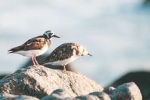 Playero Vuelvepiedras Sea Bird In Atacama, Chile