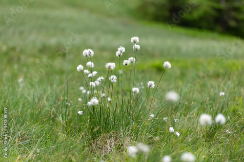 Cuadros en Lienzo Eriophorum vaginatum, the hare's-tail cottongrass, tussock cottongrass, or sheathed cottonsedge, is a species of perennial herbaceous flowering plant in the sedge family Cyperaceae