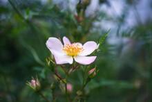 Flower Of Sweetbrier Or Wild Rose