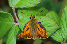 Large Skipper Butterfly Basking On A Bramble Leaf. Scientific Name, Ochlodes Sylvanus. A Prismatic Effect Of Sunlight Being Scattered By The Wing Scales Can Be Seen.