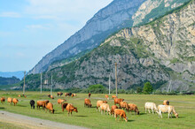 A Herd Of Cows Graze In A Meadow Near The Mountains, Dark, Light Brown And Light Beige Cows. Nearby There Is A Country Road And An Electric Transmission Line