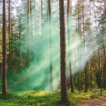 Greenish Smoke In The  Pine Forest.