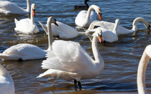 Group Of Swans In Spring