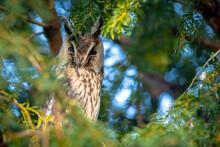 Long Eared Owl Asio Otus, Bird Of Prey Perched In A Tree