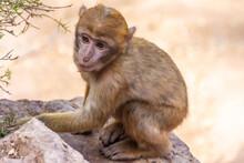 Wild Baby Barbary Monkey In Morocco