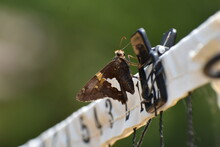Silver Spotted Skipper Butterfly