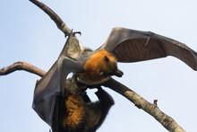 Grey-headed Bats Roosting In Trees