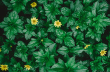 Natural Green Background From Green Leaves With Small Yellow Flower