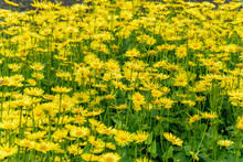 A Whole Lawn Of Blooming Yellow Doronicum Flowers