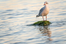 Seagull Sits On Stone Cliff At The Sea Shore