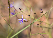 Afrosolen Sandersonii Limpopoensis, Dainty Plant With Small Purple Flowers
