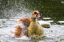 Ente Mit Schnellem Flügelschlag