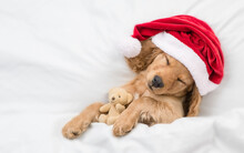 Funny English Cocker Spaniel Puppy Wearing Red Santa Hat Sleeps And Hugs Toy Bear Under White Blanket At Home. Top Down View. Empty Space For Text