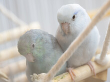 Two Forpus Parrotlet Bird Blue Turquoise And American White Stay Together On Branch In Cage. Selective Focus
