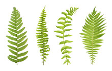 Set With Beautiful Fern Leaves On White Background