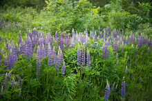 Violet Lupin Flowers Blossoming In Summer Garden