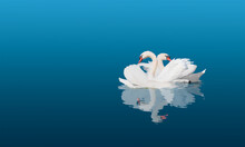 Two Swans Swiming Together In Calm Blue Water