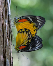 A Pair Of Colorful Redspot Jezebel (delias Descombesi) Butterflies Mating On Tree Trunk With Natural Background