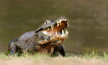 Yacare Caiman With Open Jaws