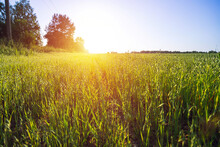 Oats Field At Sunset In Summer Day.